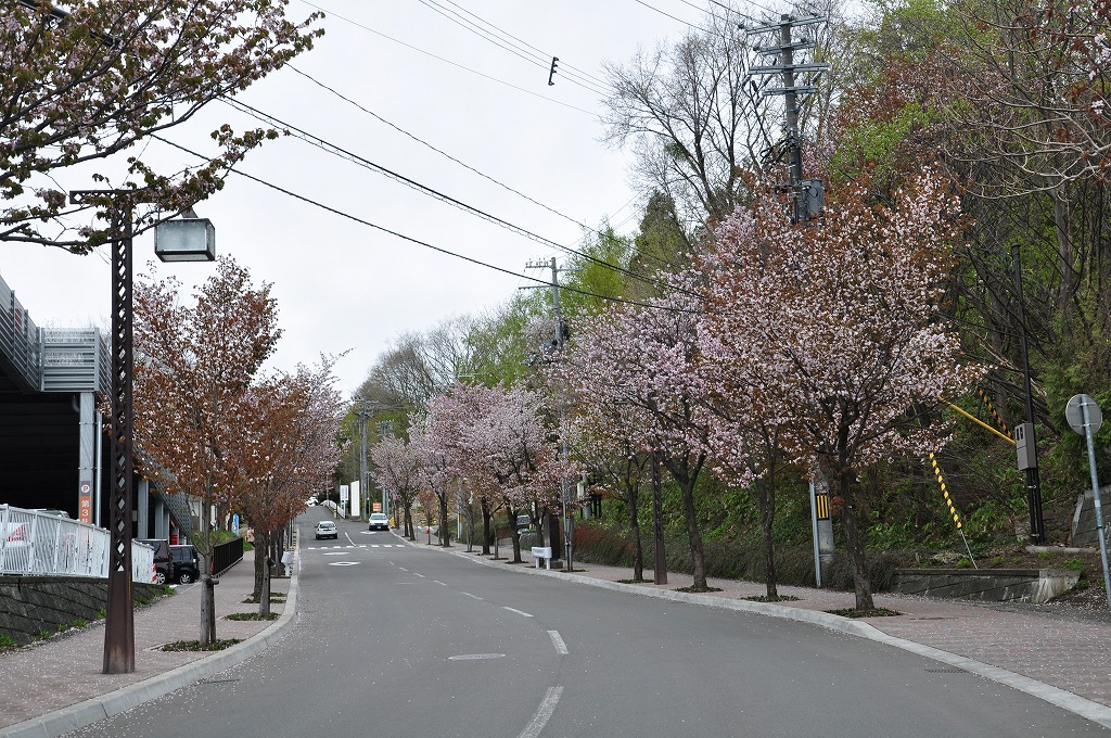 藻岩山ロープウェイ搭乗口付近の桜その1