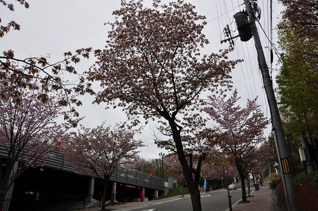 藻岩山ロープウェイ搭乗口付近の桜その2
