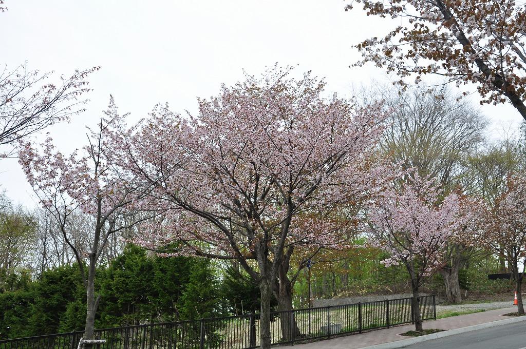 藻岩山ロープウェイ搭乗口付近の桜その3