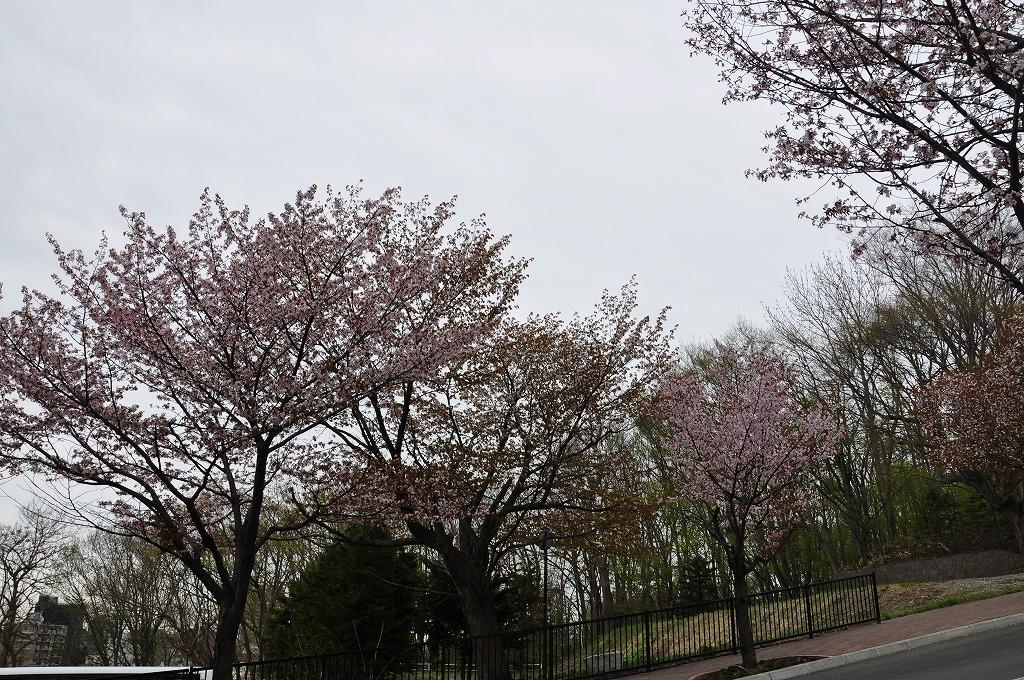 藻岩山ロープウェイ搭乗口付近の桜その4
