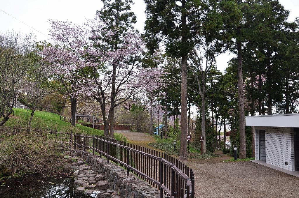 裏山の桜その1