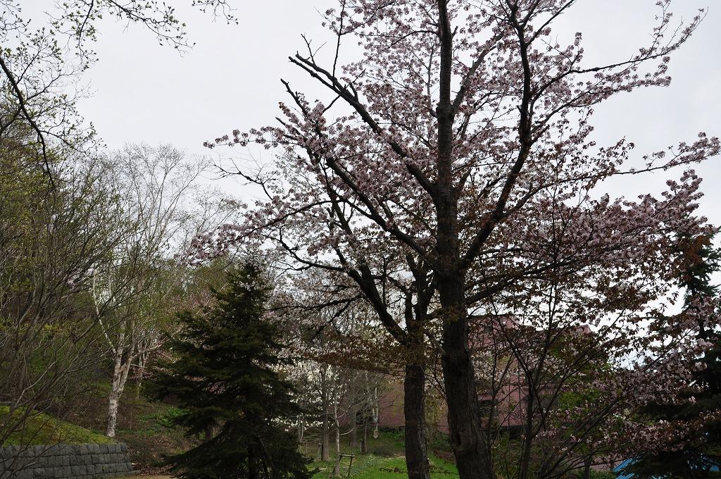 裏山の桜その2