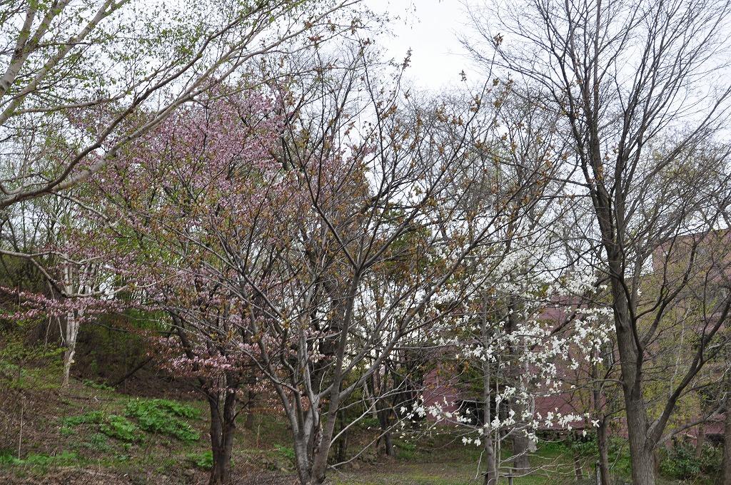 裏山の桜その3