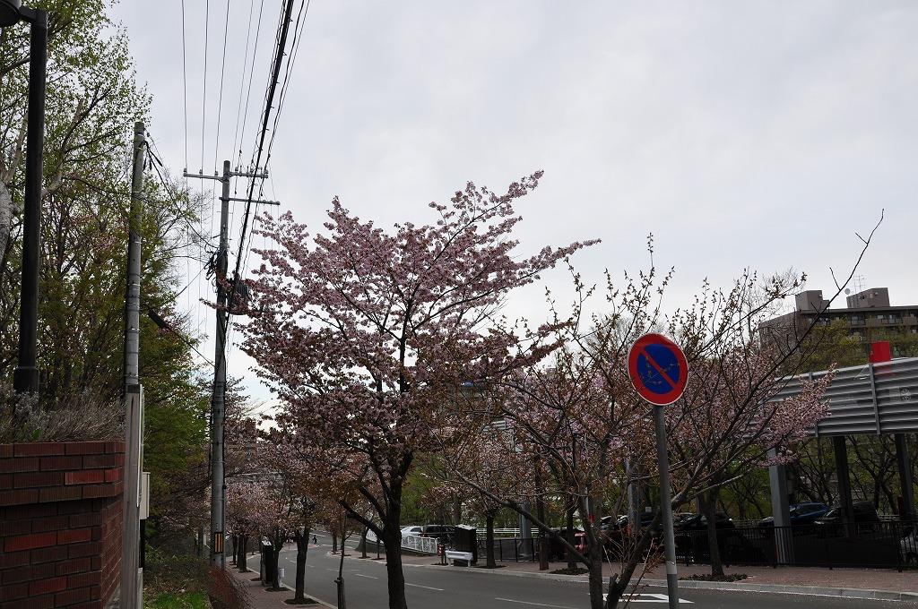 藻岩山ロープウェイ搭乗口付近の桜その5