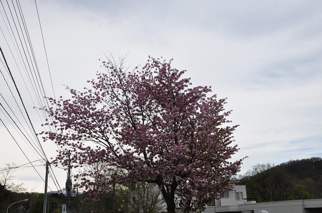 伏見の大きな桜